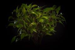 Elegante Bonsaiblume auf einem schwarzen Hintergrund Lizenzfreie Stockfotos