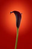 Elegante calla bloem op rode achtergrond royalty-vrije stock afbeeldingen