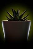 Elegante grüne Blume in einem weißen Topf Dunkler Hintergrund Kaktus Stockfoto