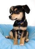 Elegante hond op blauwe omslag Stock Foto