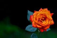 Elegante hybride rood nam in een de lentetuin toe royalty-vrije stock fotografie