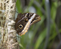 Elegante Koningin Owl Butterfly Royalty-vrije Stock Fotografie