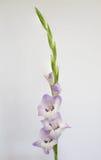 Elegante lilac gladioli Royalty-vrije Stock Foto's