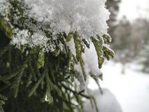 Elegante Nadeln von Evergreens werden mit Tröpfchen des Eises und des Schnees bedeckt stockbild