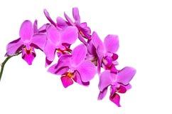 Elegante Niederlassung von exotischen Blumen mit den purpurroten Blumenblättern Lizenzfreie Stockfotos