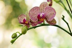 Elegante purpere en gele orchideeën Royalty-vrije Stock Foto