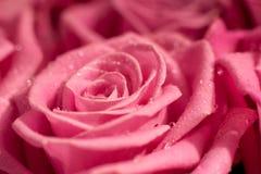Elegante Rosarosennahaufnahme Stockbilder