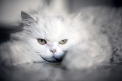 Elegante weiße Katze Stockbild