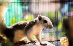 Elegante witte eekhoorn Stock Afbeelding