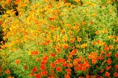 Elegante Zinniablume mit dem vollen Blühen stockfotografie