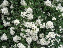 Eleganter Blumenhintergrund für Hochzeitskarten mit weichem weißem Spiraea blüht Stockbilder