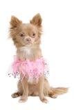 Eleganter Chihuahuawelpe im Rosa Lizenzfreies Stockfoto