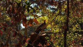 Eleganter gähnender Bussard im Baum Lizenzfreies Stockbild