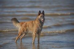 Eleganter Hund, der im Meer steht Stockbilder