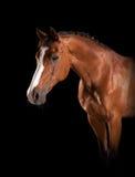 Eleganter Pferden-Kopf lizenzfreie stockfotos