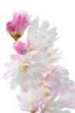 Eleganter rötlicher weißer Fuzzy Deutzia Flowers Close-Up auf weißem Hintergrund Stockbild