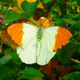 Eleganter Schmetterling Lizenzfreies Stockfoto