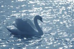 Eleganter Schwan in einem Teich Stockfoto