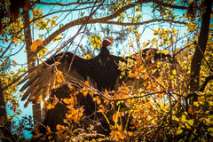 Eleganter sonnender Bussard im Baum Stockfoto