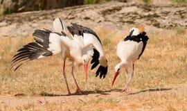 Eleganter weißer Storch lizenzfreie stockbilder