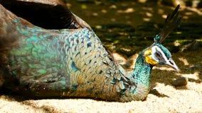 Eleganter wilder exotischer Vogel, bunte künstlerische Federn Schließen Sie oben von Pfau Texturgefieder Fliegender indischer Ähr stock video footage