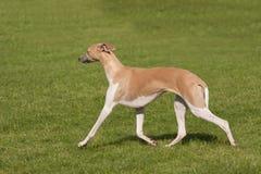 Elegantes Windhundschreiten Stockbild