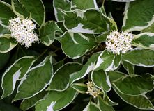 elegantissima cornus albus Стоковая Фотография RF