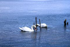 Elegants mute swans on a blue lake with wooden pickets. Beautiful white waterfowl that drinks and fishing in the water stock photo