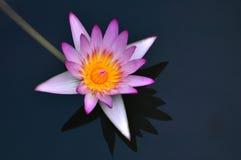 elegantt liljavatten arkivfoto