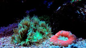 Eleganz LANGSPIELPLATTEN Coral Catalaphyllia-jardinei Stockfotografie
