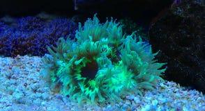 Eleganz LANGSPIELPLATTEN Coral Catalaphyllia-jardinei Stockbild