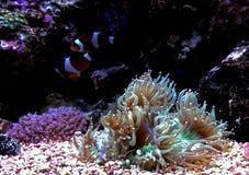 Eleganz LANGSPIELPLATTEN Coral Catalaphyllia-jardinei Lizenzfreies Stockfoto