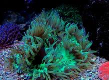 Eleganz LANGSPIELPLATTEN Coral Catalaphyllia-jardinei Stockbilder