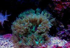 Eleganz LANGSPIELPLATTEN Coral Catalaphyllia-jardinei Lizenzfreie Stockfotos