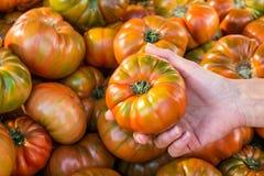 Elegir los tomates Foto de archivo libre de regalías