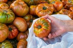 Elegir los tomates Fotografía de archivo libre de regalías