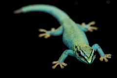 Elektrische blaue TagesGeckos (Lycodactylus williamsi) Lizenzfreie Stockfotos