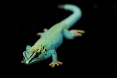 Elektrische blaue TagesGeckos (Lycodactylus williamsi) Lizenzfreie Stockbilder