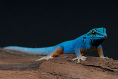 Elektrische blauwe gekko Stock Fotografie
