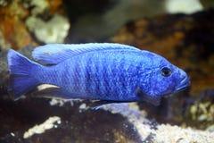 Elektrische blauwe hap cichlid stock afbeelding