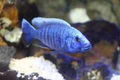 Elektrische blauwe hap cichlid royalty-vrije stock foto