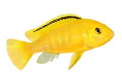 Elektrische gelbe Cichlid Labidochromis-caeruleus Malawi-Aquarium-Fische Lizenzfreies Stockfoto