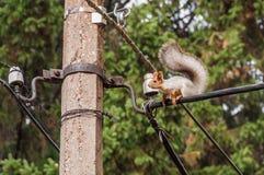 Elektrische Leitung des Eichhörnchenporträts Stockfoto
