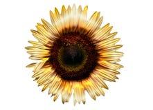 Elektrische Sonnenblume Stockfotos