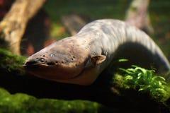 Elektrisk ål (Electrophoruselectricusen) Arkivbilder