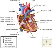 elektriskt hjärtasystem Royaltyfria Bilder