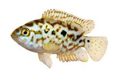 Elektryczna błękitnej dźwigarki dempsey cichlid Nandopsis Octofasciatum akwarium ryba Obraz Royalty Free