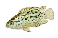 Elektryczna błękitnej dźwigarki dempsey cichlid Nandopsis Octofasciatum akwarium ryba Fotografia Royalty Free