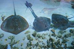Elektryczny Stingray Fotografia Royalty Free