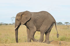 Elelphant Stock Images